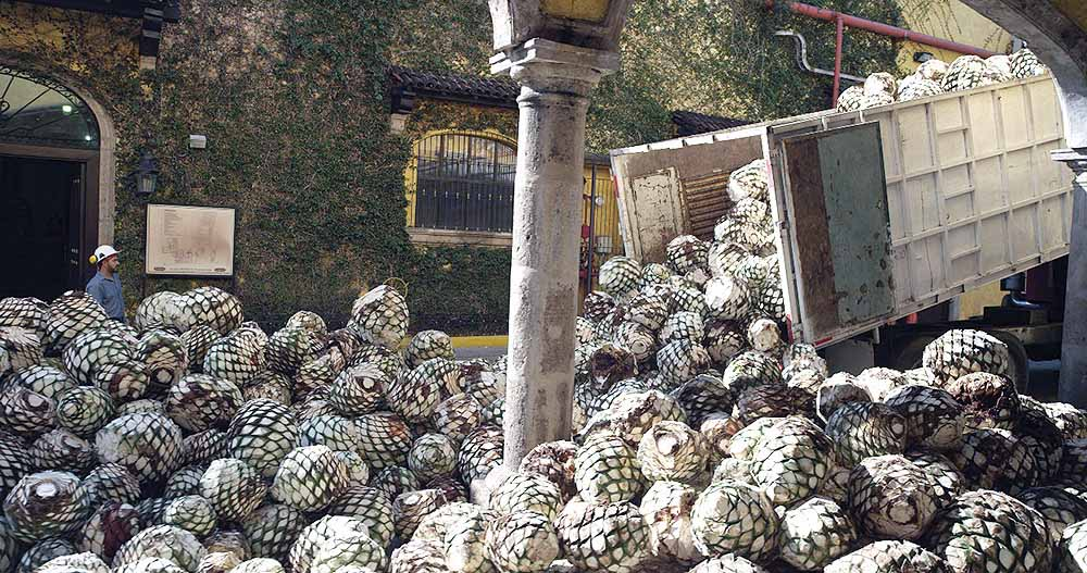agave-plants-for-parts